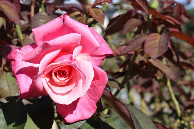 秋のバラを見に行こう!若園公園の「バラ園」