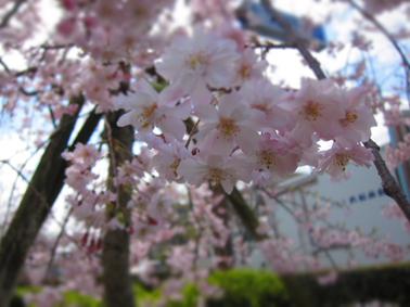 茨木市のお花見スポット