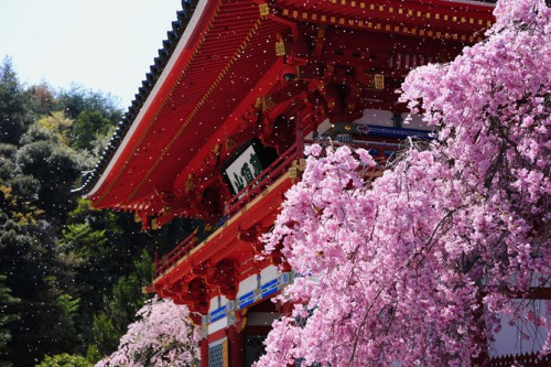 sakura_image20150320