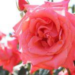 5月のバラを見に行こう!今が見頃!「若園公園・バラ園」