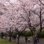 公園へ行こう!お花見スポット。吹田の「千里南公園」