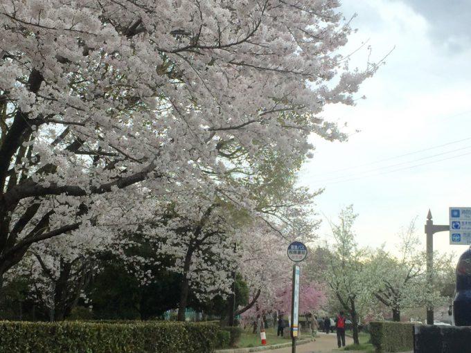 春爛漫。ぷらっと茨木~茨木市、桜の開花状況~